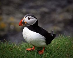 Puffins_in_Mykines_02